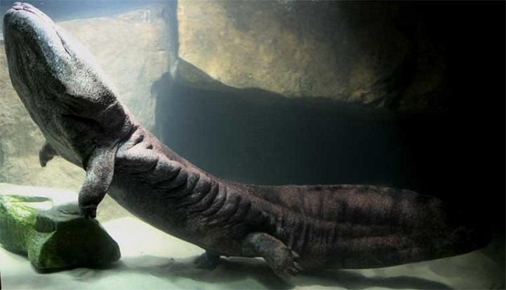 salamander1-1