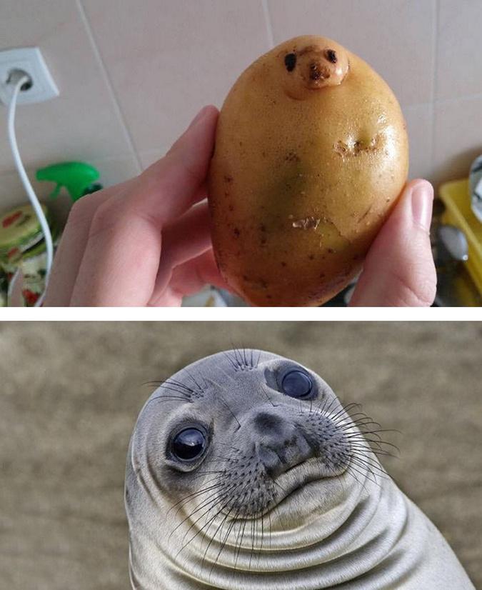 Krumpli-fóka