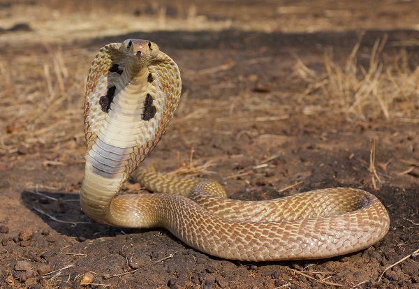 snakee
