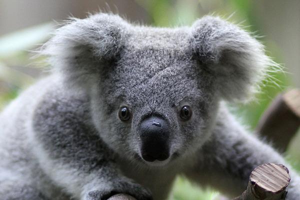 1202-Koala-organ