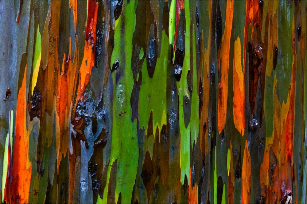 eukaliptuszkereh-hawai